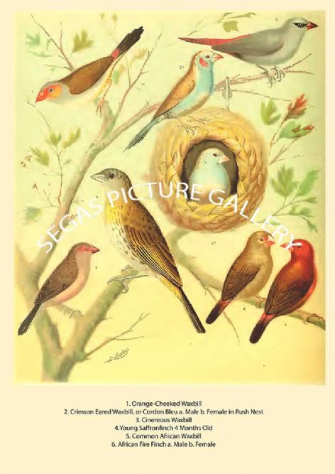 Fine art print of the Various Waxbills and Fire Finch  by the artist William Rutledge (1878)